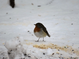 Rödhake / European Robin
