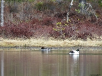 Knipa / Common Goldeneye