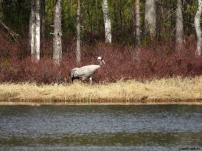 Trana / Common Crane