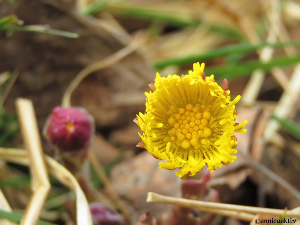 Tussilago / Coltsfoot