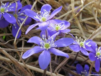 Blåsippa / Blue anemone