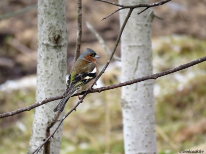 Bofink hane / Chaffinch male