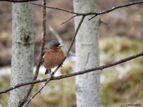 Bofk hane / Chaffinch male