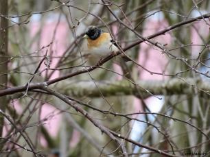 Begfink hane / Brambling male